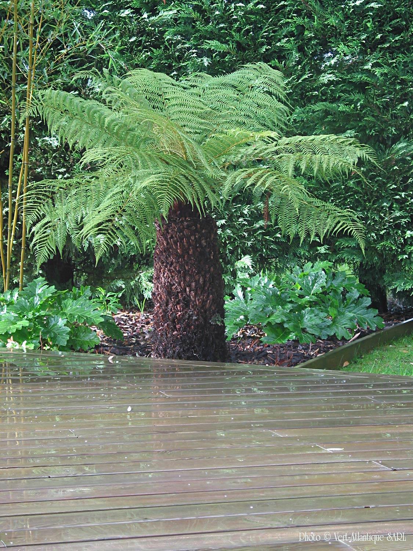 Fougère arborescente, Dicksonia antartica, avec terrasse en bois, pin des Landes