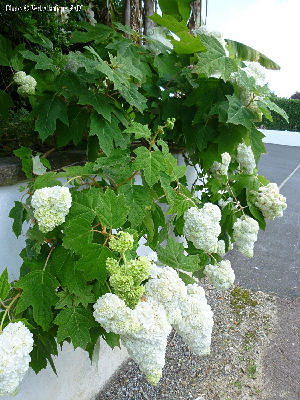 Hortensias à feuille de chêne, Hydrangea quercifolia