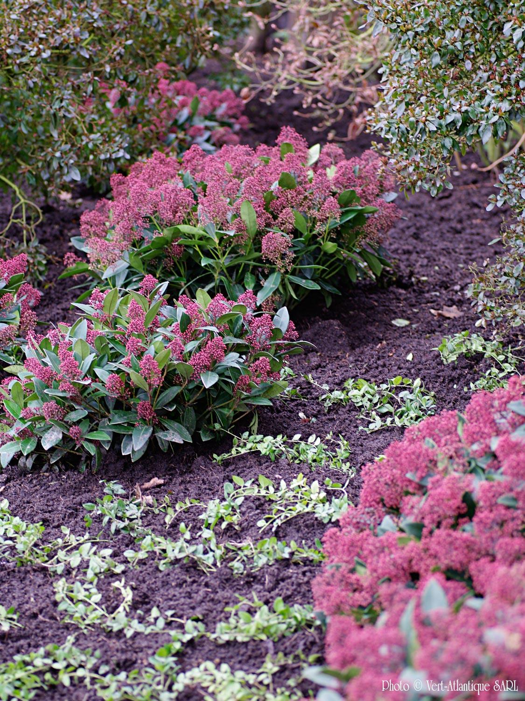 Massif d'arbustes, Skimmia et azalées du japon, couvre-sol