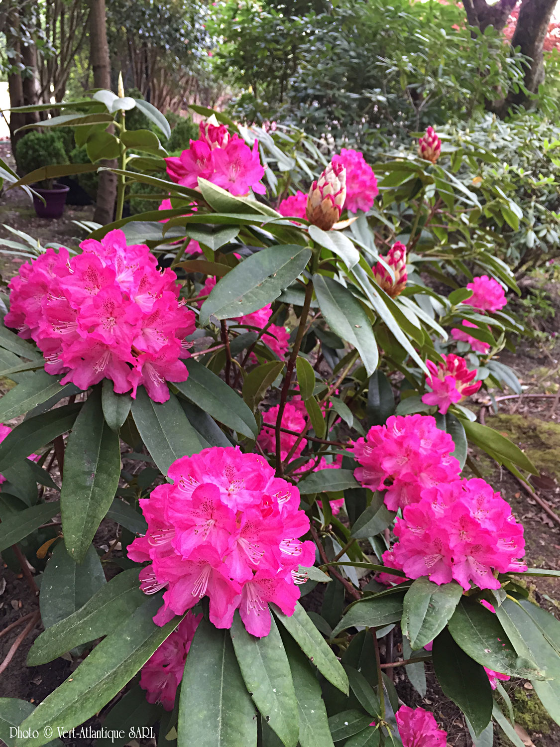 Massif de Rhododendrons rose